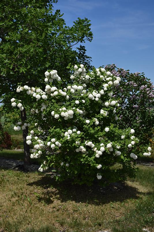 Common Snowball Viburnum Viburnum Opulus Roseum In