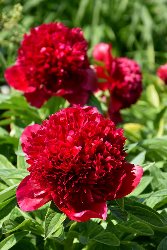 Red Charm Peony Paeonia Red Charm In Inver Grove