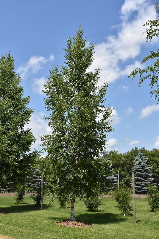 Prairie Dream Paper Birch Betula Papyrifera Varen In