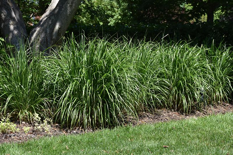 Best Lawn Fertilizer >> Korean Reed Grass (Calamagrostis brachytricha) in Inver