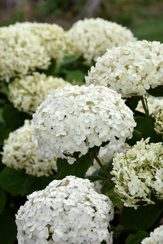 Best Lawn Fertilizer >> Invincibelle Wee White™ Hydrangea (Hydrangea arborescens ...