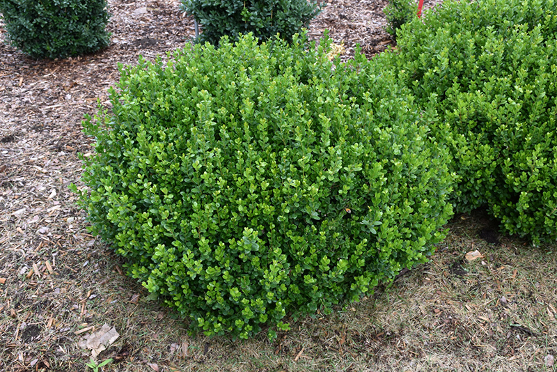 Sprinter Boxwood Buxus Microphylla Bulthouse In Inver