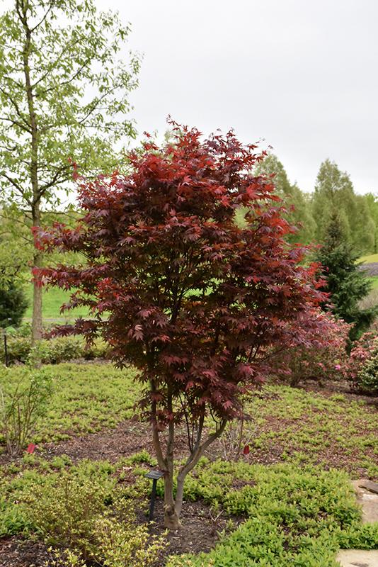 Emperor I Japanese Maple Acer Palmatum Wolff In Inver