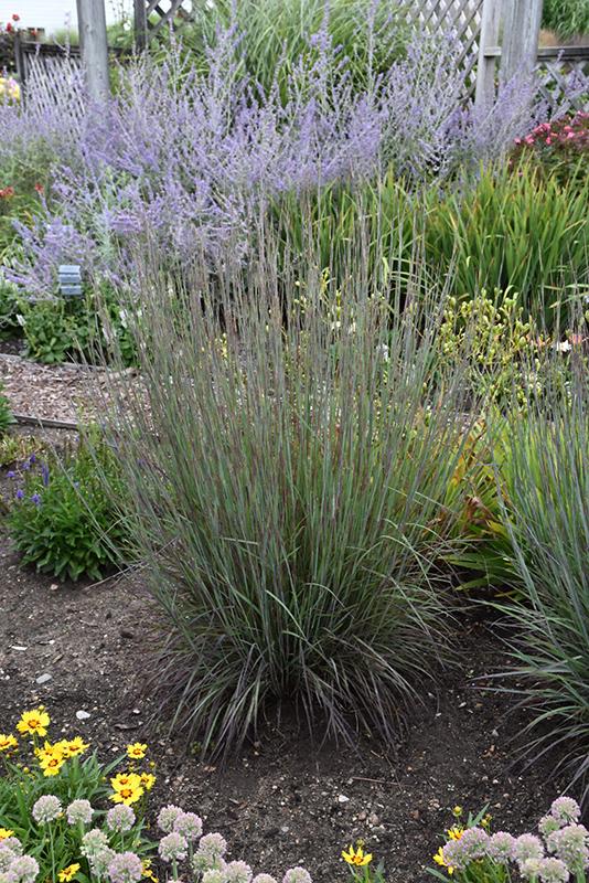 Best Lawn Fertilizer >> Smoke Signal Little Bluestem (Schizachyrium scoparium ...