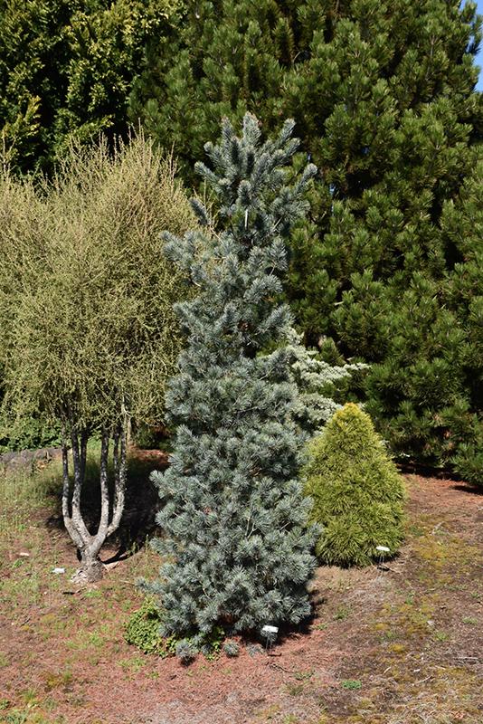 Blue Angel Japanese White Pine (Pinus parviflora 'Blue ...