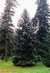 Thompsen Blue Spruce (Picea pungens 'Thompsen Blue') at Gertens