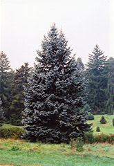 Hoopsii Colorado Blue Spruce (Picea pungens 'Hoopsii') at Gertens