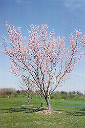 Moongold Apricot (Prunus 'Moongold') at Gertens