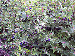 Berry Blue™ Haskap (Lonicera caerulea 'Berry Blue') at Gertens