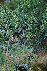 Grey Owl Juniper (Juniperus virginiana 'Grey Owl') at Gertens