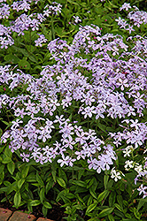 Woodland Phlox (Phlox divaricata) at Gertens