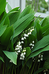 Lily-Of-The-Valley (Convallaria majalis) at Gertens