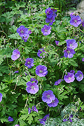 Johnson's Blue Cranesbill (Geranium 'Johnson's Blue') at Gertens