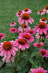 Ruby Star Coneflower (Echinacea purpurea 'Rubinstern') at Gertens