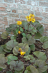 Britt Marie Crawford Rayflower (Ligularia dentata 'Britt Marie Crawford') at Gertens