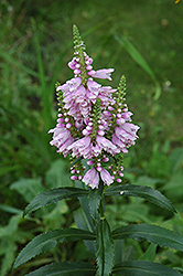 Obedient Plant (Physostegia virginiana) at Gertens