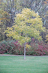 Kentucky Coffeetree (Gymnocladus dioicus) at Gertens