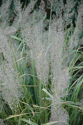 Korean Reed Grass (Calamagrostis brachytricha) at Gertens