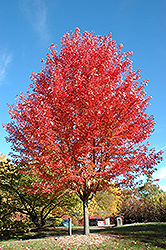 Autumn Blaze Maple (Acer x freemanii 'Jeffersred') at Gertens