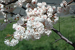 Princess Kay Plum (Prunus nigra 'Princess Kay') at Gertens