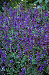 May Night Sage (Salvia x sylvestris 'May Night') at Gertens