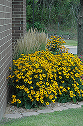 Goldsturm Black Eyed Susan (Rudbeckia fulgida 'Goldsturm') at Gertens