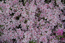 Candy Stripe Moss Phlox (Phlox subulata 'Candy Stripe') at Gertens