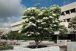 Ivory Silk Japanese Tree Lilac (Clump) (Syringa reticulata 'Ivory Silk') at Gertens