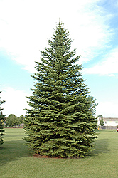 Colorado Spruce (Picea pungens) at Gertens