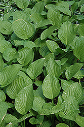 Royal Standard Hosta (Hosta 'Royal Standard') at Gertens