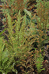 American Royal Fern (Osmunda regalis) at Gertens