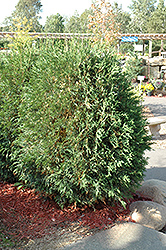 Techny Globe Arborvitae (Thuja occidentalis 'Techny Globe') at Gertens