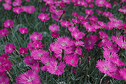 Firewitch Pinks (Dianthus gratianopolitanus 'Firewitch') at Gertens