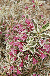 My Monet Weigela (Weigela florida 'Verweig') at Gertens