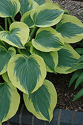 Liberty Hosta (Hosta 'Liberty') at Gertens