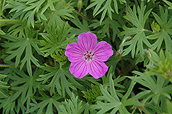 Tiny Monster Cranesbill (Geranium 'Tiny Monster') at Gertens