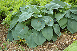 Big Daddy Hosta (Hosta 'Big Daddy') at Gertens