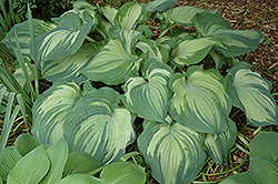 Guardian Angel Hosta (Hosta 'Guardian Angel') at Gertens
