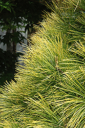 Louie Eastern White Pine (Pinus strobus 'Louie') at Gertens