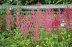 Visions in Pink Astilbe (Astilbe chinensis 'Visions in Pink') at Gertens