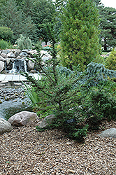 Forest Fountain Hemlock (Tsuga canadensis 'Forest Fountain') at Gertens