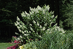 Tardiva Hydrangea (tree form) (Hydrangea paniculata 'Tardiva (tree form)') at Gertens