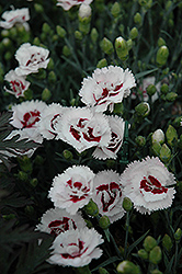 Coconut Surprise Pinks (Dianthus 'WP05Yves') at Gertens