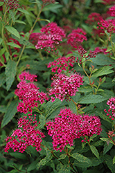 Neon Flash Spirea (Spiraea japonica 'Neon Flash') at Gertens