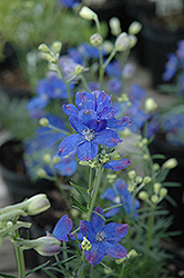 Blue Mirror Delphinium (Delphinium grandiflorum 'Blue Mirror') at Gertens