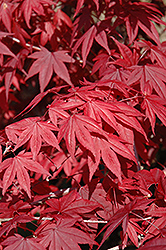Emperor I Japanese Maple (Acer palmatum 'Wolff') at Gertens