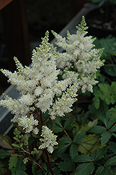 Younique White Astilbe (Astilbe 'Verswhite') at Gertens
