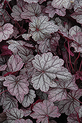 Sugar Plum Coral Bells (Heuchera 'Sugar Plum') at Gertens