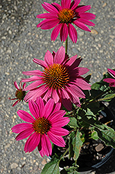 PowWow Wild Berry Coneflower (Echinacea purpurea 'PowWow Wild Berry') at Gertens
