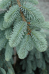 The Blues Colorado Blue Spruce (Picea pungens 'The Blues') at Gertens
